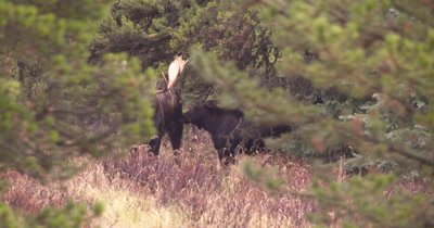 4K Moose Male/Buck guarding female in trees, touching noses, Autumn Colours - NOT Colour Corrected