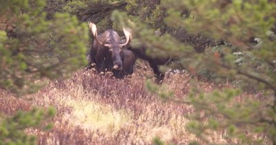 4K Moose Male/Buck guarding female in trees, Licking, turns to female, Autumn Colours - NOT Colour Corrected