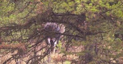 4K Moose Male/Buck walking through trees, shakes off, little shaky, Autumn Colour - NOT Colour Corrected