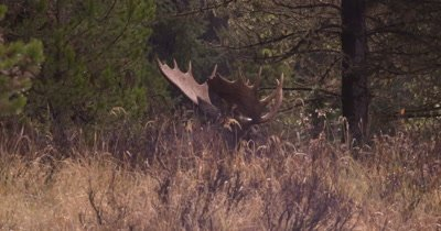 4K Moose Male/Buck laying down in tall grass, rotates head, steam from breathe, rain/snow flare Autumn Colour - NOT Colour Corrected