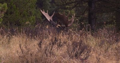 4K Moose Male/Buck laying down in tall grass, rotates head, rain/snow thru frame, Autumn Colour - NOT Colour Corrected