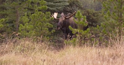 4K Moose Male/Buck waling through tress, grazing on tall grass, Autumn Colours - NOT Colour Corrected