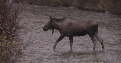 4K Moose female crossing creek in rain, drinks water, Slow Motion, Autumn Colours - NOT Colour Corrected