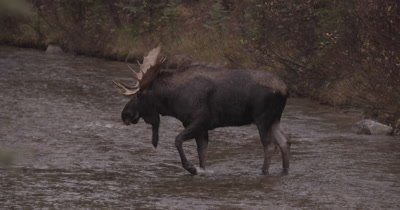 4K Moose Male/Buck crossing creek, drinks, turns to camera, exists on other side, Zoom in, Slow Motion, Autumn Colours - NOT Colour Corrected
