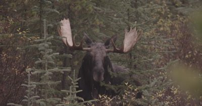 4K Moose Male/Buck staring into camera, zoom in, ears rotate forward, Autumn Colours - NOT Colour Corrected