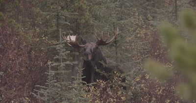 4K Moose Male/Buck staring towards camera, snorting steam from nostrils, Autumn Colours - NOT Colour Corrected