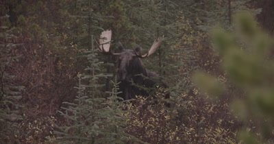 4K Moose Male/Buck staring at camera, Zoom out, Autumn Colours - NOT Colour Corrected