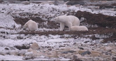 4K Polar Bear mother and two baby cubs forging along shore in snow, last cub exits frame - Stabilized Source