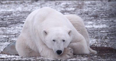4K Polar Bear male/boar sleeping on snow, opens eyes, Close Up - Stabilized Source