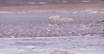 4K polar Bear mother with two baby cubs forging along edge of bay on tundra in snow, Slow Motion - Stabilized Source