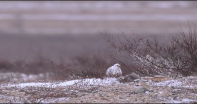 4K Gyrfalcon (Arctic Falcon) rests in snow watching, Slow Motion - Source Stabilized