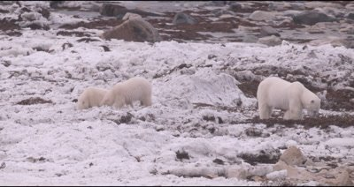 4K Polar Bear mother with two baby cubs forging on tundra in snow, Slow Motion, zoom out at end - Stabilized Source
