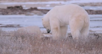 4K Polar Bear stomping ground and clawing to get to food, Ocean behind, Winter Colours