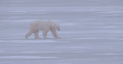 4K Polar Bear walking across frozen water, Slow Motion, Winter Colours