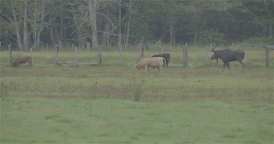 4K Moose Male/Buck living with a herd of cattle, Walking thru them, Slow Motion, Autumn Colours - NOT Colour Corrected