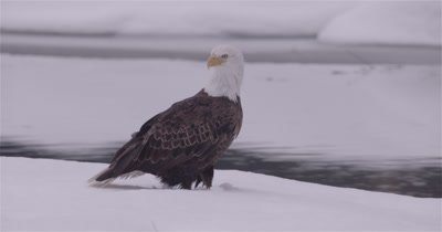 4K Bald Eagle stands in the snow at edge of stream rotating head, Close Up