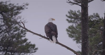 4K Bald Eagle perched in tree, rotating head looking around, zoom out