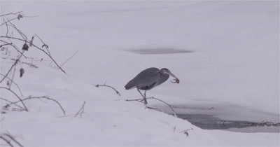 4K Blue Heron standing in snow catches frog through ice, short zoom in
