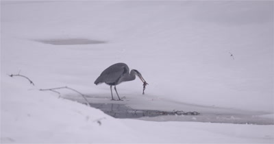 4K Blue Heron standing in snow eating frog, Slow Motion