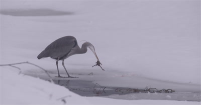 4K Blue Heron standing in snow eating frog, Picks up drops, rinses off in water, Slow Motion