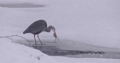 4K Blue Heron standing in snow, edge of water pecking frog then swallows it, rinses off beak, Slow Motion