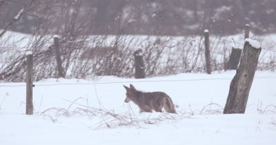 4K Coyote in walking in snow foreground, rack focus to second coyote in back ground, Slow Motion - Stabilized Source