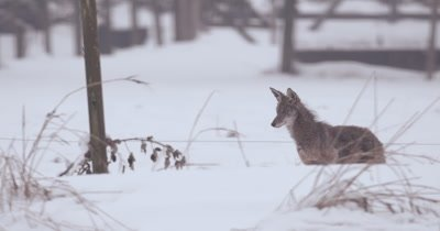 4K Coyote stalking prey in snow, Slow Motion - Stabilized Source