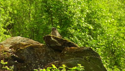 HD Horay Marmont perched on rock in sub-alpine forest - NOT Colour Corrected