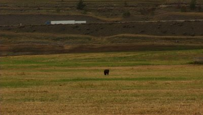 HD Black Bear walking through field below highway in Arid area - NOT Colour Corrected