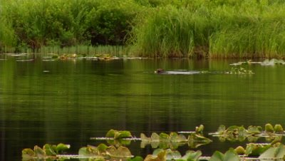HD Beaver towing large branch through Lilly's in lake - NOT Colour Corrected