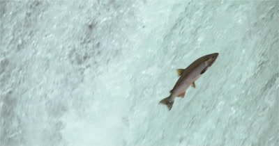 4K Salmon jumping up waterfall, Ultra Slow Motion - 120 FPS Lossless
