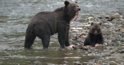Grizzly Bear Mother & Cub gorging on salmon river's edge - 120 FPS Lossless (X-OCN)