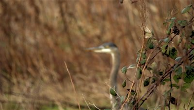 Grey Heron stalking prey, catching mole, rack focus