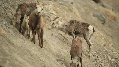 HD Stone Sheep eating minerals on steep rocky hill with many kids