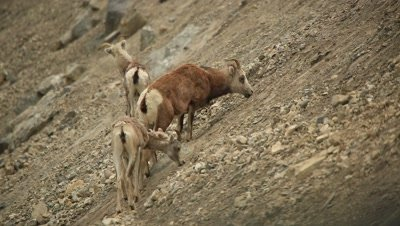 HD Stone Sheep eating minerals on steep rock side