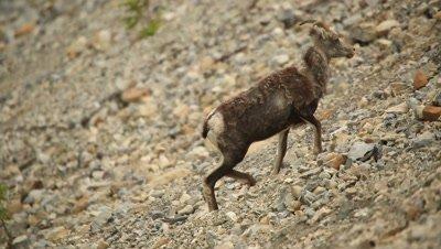HD Stone Sheep climbing steep rocky hill side, turns walks away