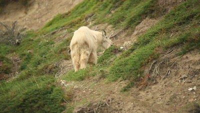 Mountain Goat eating along hill side