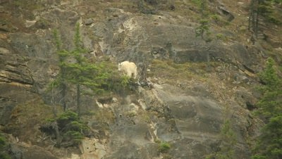 Mountain Goat grazing on steep hill side, pan off