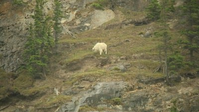 Mountain Goat grazing on steep hill side