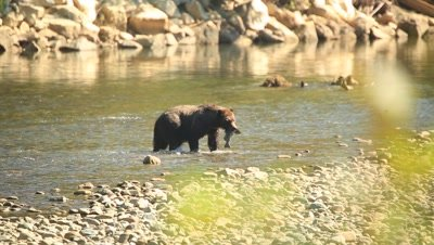 Grizzly bear chases and catches salmon, liquid shoots out, carries it flapping away to forest