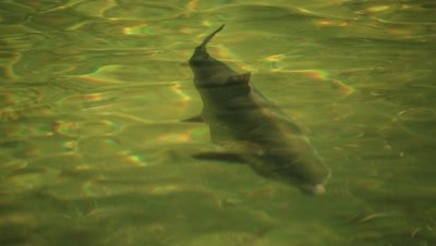 Large Chinook Salmon swimming in shallow waters
