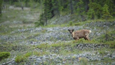 Caribou runs over small hill then stops to eat grass