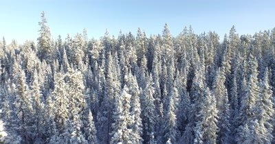 4K Aerial fly back over snow covered boreal forest, low pass