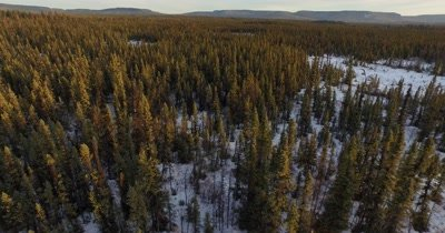 4K Aerial lift up through boreal forest then pan right