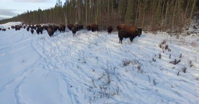 4K Aerial fly over herd of Wood Bison along road in snow