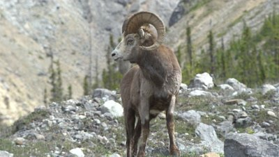 4K Big Horn Sheep Ram grazing in the alpine, Focus pull