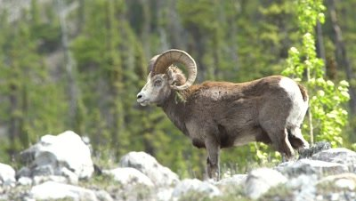 4K Big Horn Sheep Ram grazing in the alpine, Focus pull, grass hanging from horn