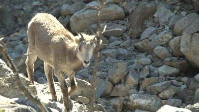 4K Stone Sheep, Tin Horn Sheep female walking in rock gully - Rack Focus - SLOG2