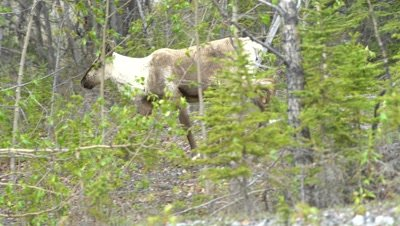 4K Caribou young walking through forest