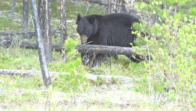 4K Black Bear grazing on grass, climbs of fallen tree